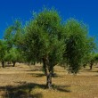 Stock Photo: A olive grove