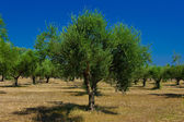 A olive grove — Stock Photo