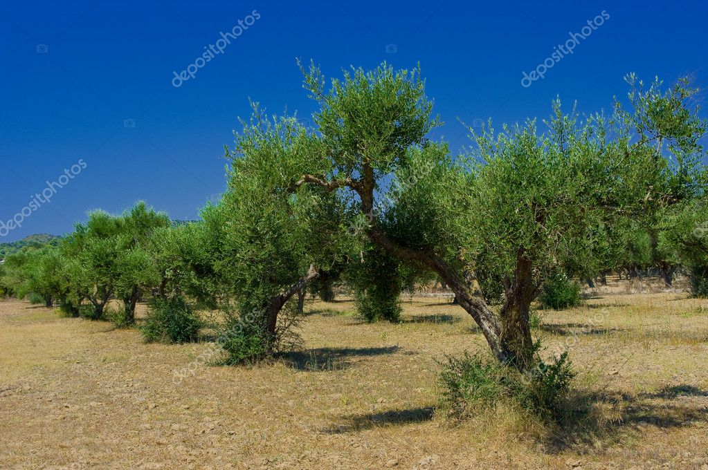 A olive grove in Zakynthos island, Hellenic Republic — Stock Photo #4238761
