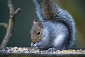 Grey Squirrel (Sciurus carolinensis) — Stock Photo