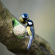 Great Tits (Parus major) — Stock Photo
