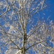 Birches — Stock Photo #4243639