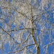 Birches 06 — Stock Photo #4243643