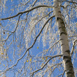 Birches 07 — Stock Photo #4243644