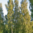 Birches — Stock Photo #4243655