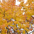 Maple leaves — Stock Photo #4243923