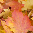 Maple leaves — Stock Photo #4243927