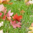 Maple leaves — Stock Photo #4243934
