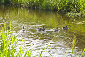 Family of ducks — Stock Photo