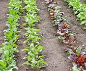 Coltivazioni giardino — Foto Stock