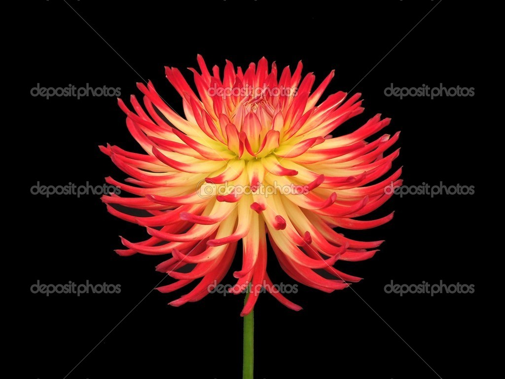 Dahlia Flower — Stock © daseaford