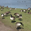 Royalty-Free Stock Photo: Geese Flock.