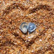 Two sea-shells on the beach — Stock fotografie