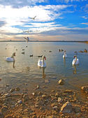 Swans and sea-gulls in the sunset — Stock Photo