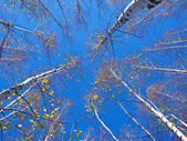 Blue sky and top of the birches — Stock Photo