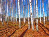 Birch trees and deep blue sky — Stock Photo