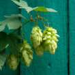 Royalty-Free Stock Photo: Hops on the green background