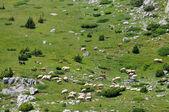 Flock at highland — Stock Photo