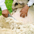 Stock Photo: Shearing Sheep