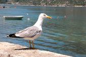 Curious Seagull — Stock Photo
