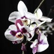 Orchid — Stock Photo #4272302