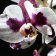 Orchid — Stock Photo #4272306