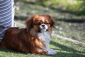 Pekinese — Stock Photo