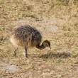 Cute Baby Ostrich - Stock Photo