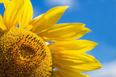 Sunflower Over a Blue Sky — Stock Photo