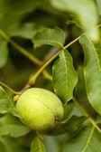 Walnut On A Tree — Stock Photo