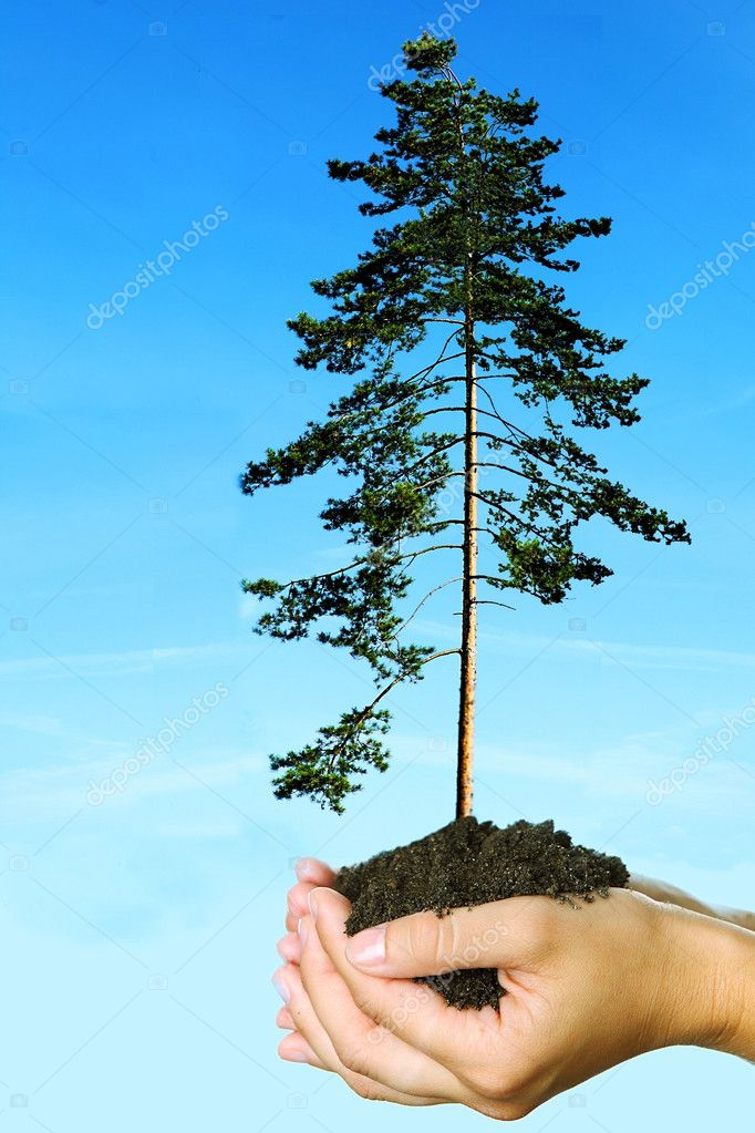 Fir tree nesting in woman caring palms — Stock Photo #4658146