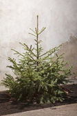 Fir tree for Christmas outdoor, not adorned. — Stock Photo