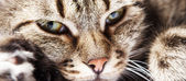 Close-up beautiful European cat portrait — Stock Photo