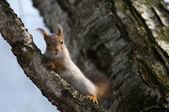 Przestraszony wiewiórka — Zdjęcie stockowe