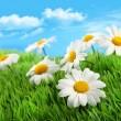 margaritas en pasto contra un cielo azul — Foto de Stock