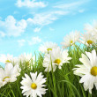 White summer daisies in tall grass - Stock Photo