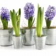 Purple hyacinth in aluminum pots on white — Stock Photo #4819473