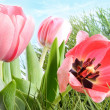 Colorful spring tulips in tall grass — Stock Photo