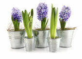 Purple hyacinth in aluminum pots on white — Stok fotoğraf