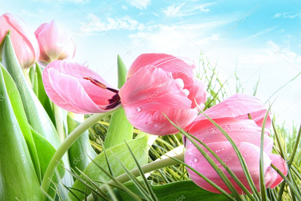 Close-up of  pink Spring tulips against blue sky — Stock Photo #4819480