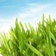 Stock Photo: Fresh wheat grass with dew drops