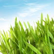 Fresh wheat grass with dew drops - Stock Photo