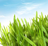 Fresh wheat grass with dew drops — Stock Photo