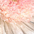 Pink chrysanthemum with antique distress — 图库照片