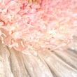 Pink chrysanthemum with antique distress — Stock Photo