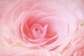Closeup of a pink rose — Stock Photo