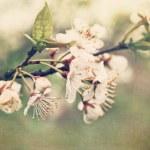 elma çiçeği şube erken Bahar — Stok fotoğraf #5345625