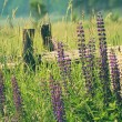 Stock Photo: Field of lupine flowers