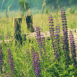 Field of lupine flowers - Stock Photo