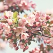 Pink apple blossoms — Foto de Stock